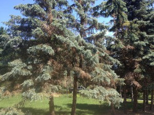 The Sad Story of Spruce Trees in Michigan